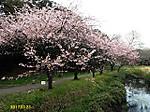 Sakura_h