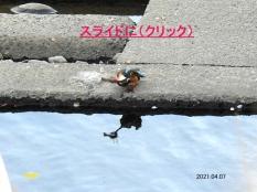 kawasemi23828