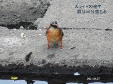 kawasemi33836