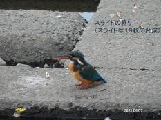 kawasemi43847