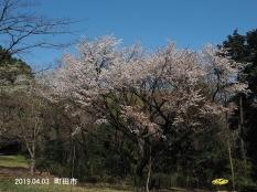 Sakura3595