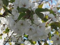 Sakura3601