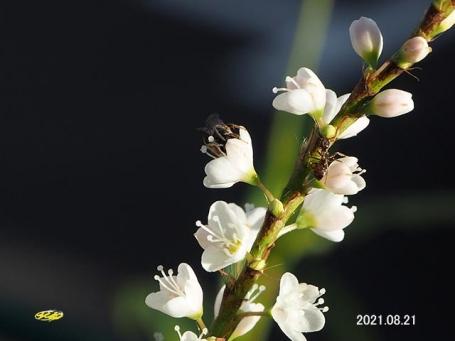 sirosaku36372