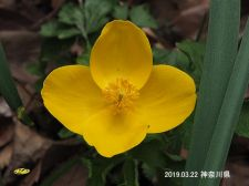 Yamabukiso3246